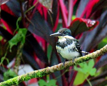 Green Kingfisher Female & Juvenile