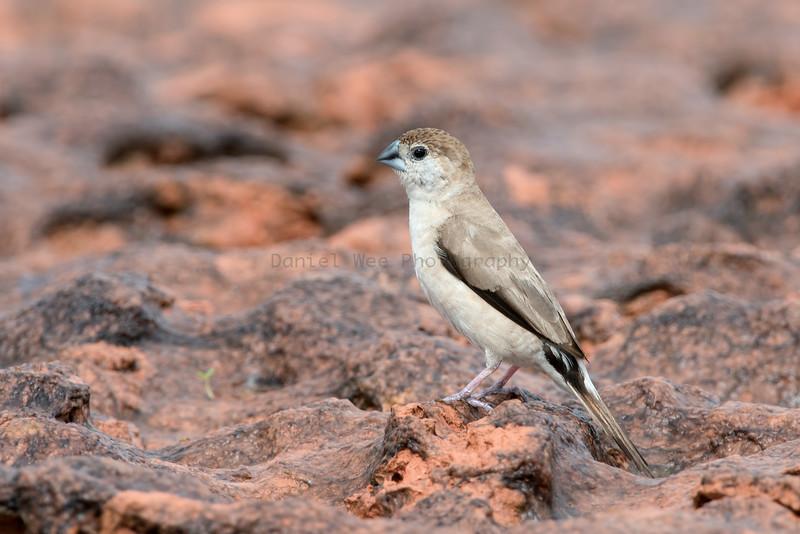 White Throated Munia aka Indian Silverbill