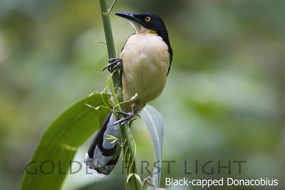 Black-capped Donacobius, Pantanal, Brazil