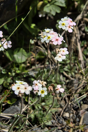 Sweetflower rockjasmine