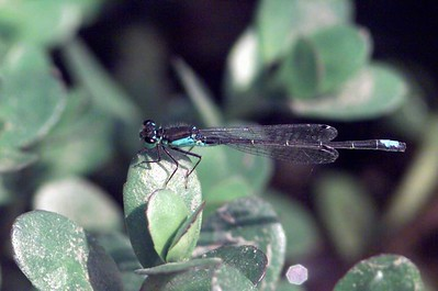 Black-fronted Forktail