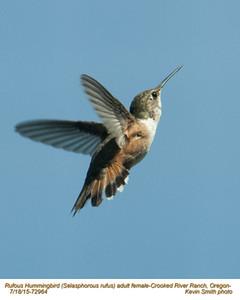 Rufous Hummingbird F72964.jpg
