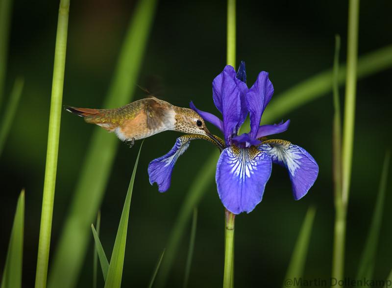 Young Rufous Hummingbird hitting the patch of Siberian Irises.