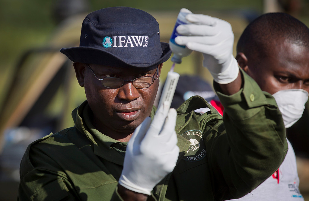 . In this Wednesday, Feb. 20, 2013 photo, a specialist veterinarian from the Kenya Wildlife Service (KWS) readies tranquilizer darts as he and a team from the International Fund for Animal Welfare (IFAW) prepare to fit elephants with GPS-tracking collars to monitor their migration routes and to help prevent poaching, in the Osewan area next to Amboseli National Park in southern Kenya, near the border with Tanzania. (AP Photo/Ben Curtis)