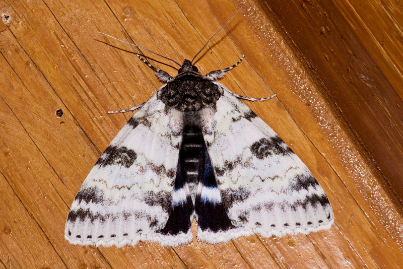 Underwing - White - (Catocala relicta) - Dunning Lake - Itasca County, MN