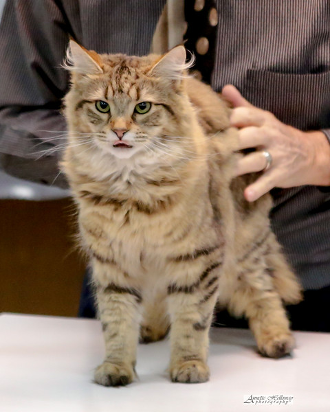 CFA Cat Show | Newport News VA | 2-2-2019