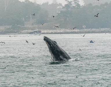 Humpback Whales in Moss Landing (Credit: Eileen Johnson)
