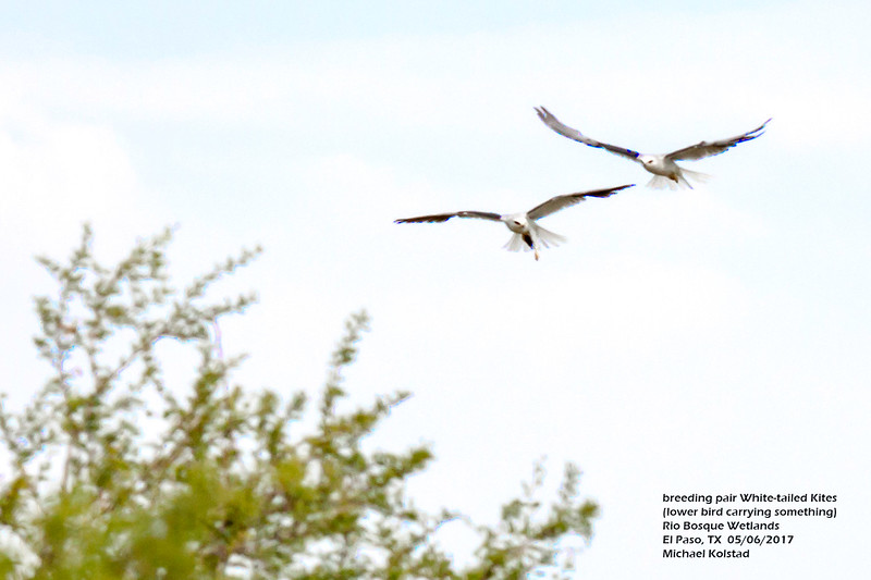 IMG_3157 3T pair White-tailed Kites Rio Bosque.jpg