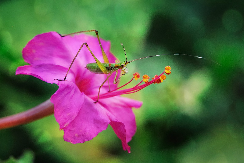 Tiny little katydid enjoying delicious flower stamen . . . yummy!