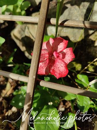 Puutarhamme ruusut