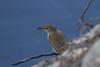 Australian (Clamorous) Reed-Warbler (Acrocephalus australis) - Euroa, Victoria