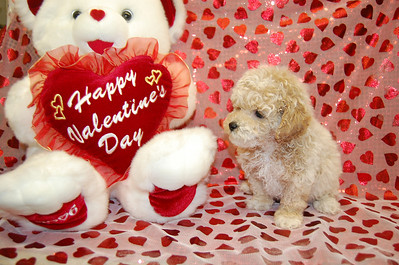 2009 MALTIPOO Sold Photo and Videos