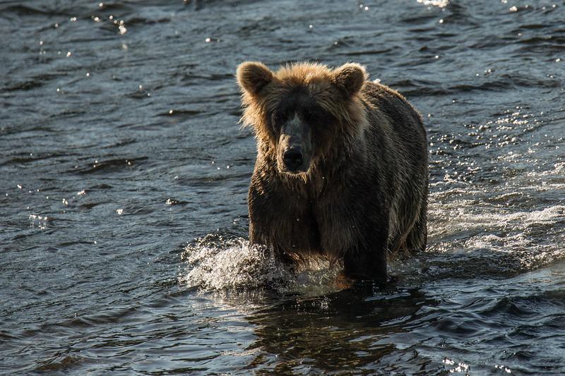 Katmai Bears-45.jpg