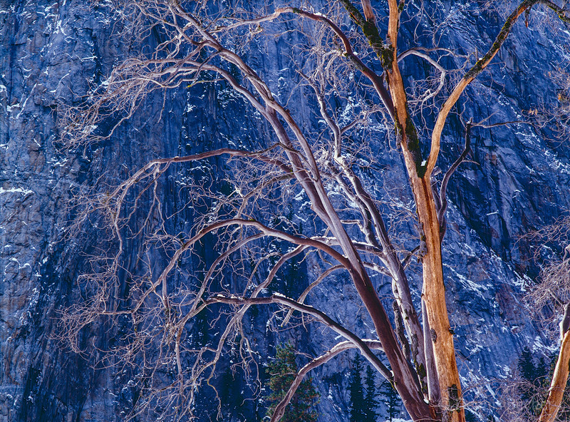 Yosemite - Bare Tree in Winter 4.jpg