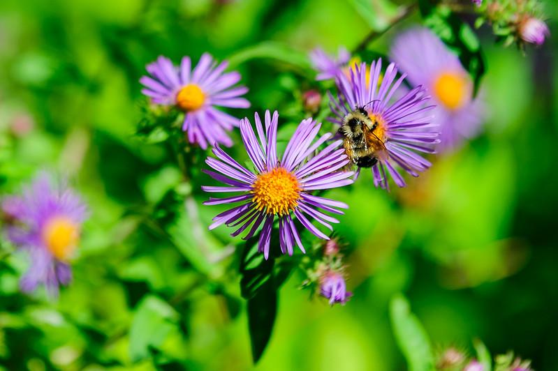 20170914 Wild Flowers-0198 BEES.jpg