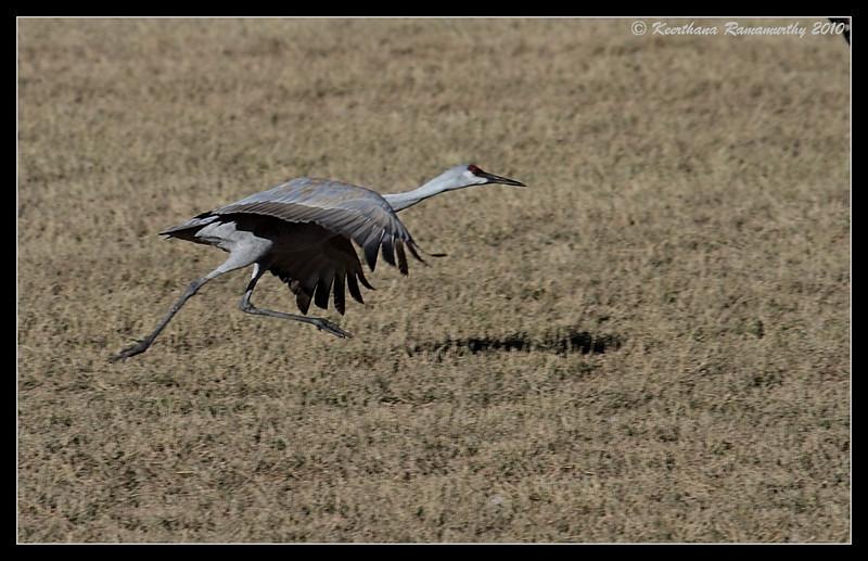 Sandhill Crane on the takeoff run, Bosque Del Apache, Socorro, New Mexico, November 2010