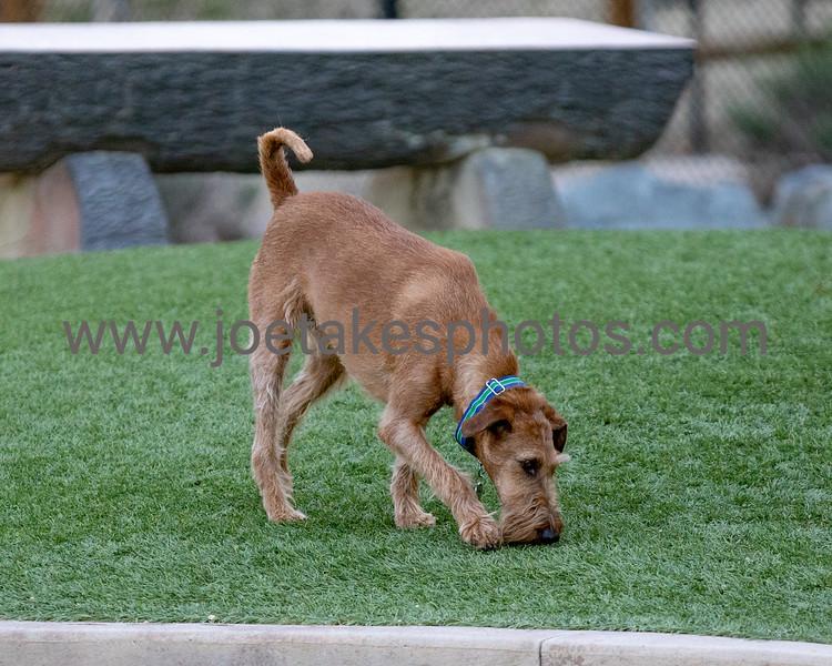 2021-03-28 Irish Terrier Club of Souther California Meet