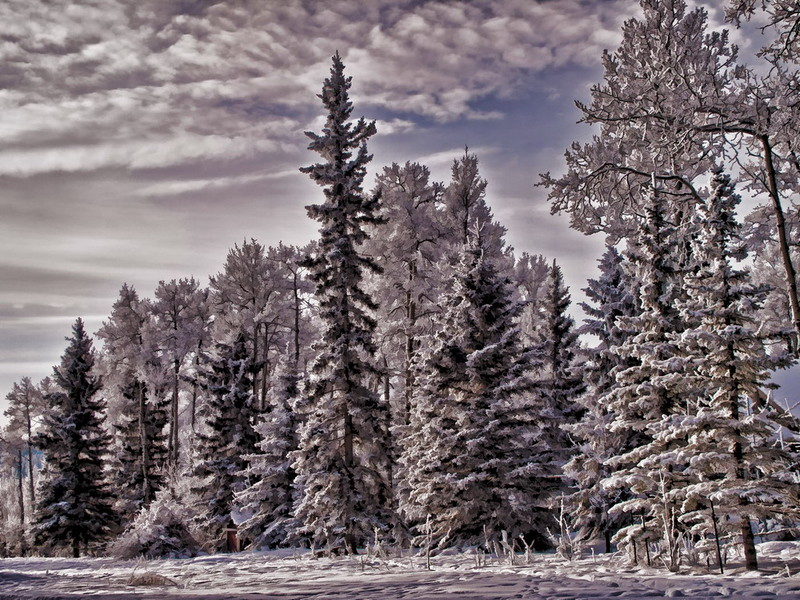 Alberta woods 5.jpg