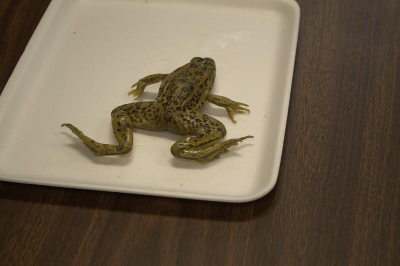 FrogDissection-03.jpg