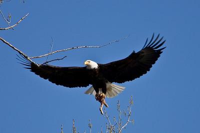 Bald Eagles at Ritter Farm, 2010