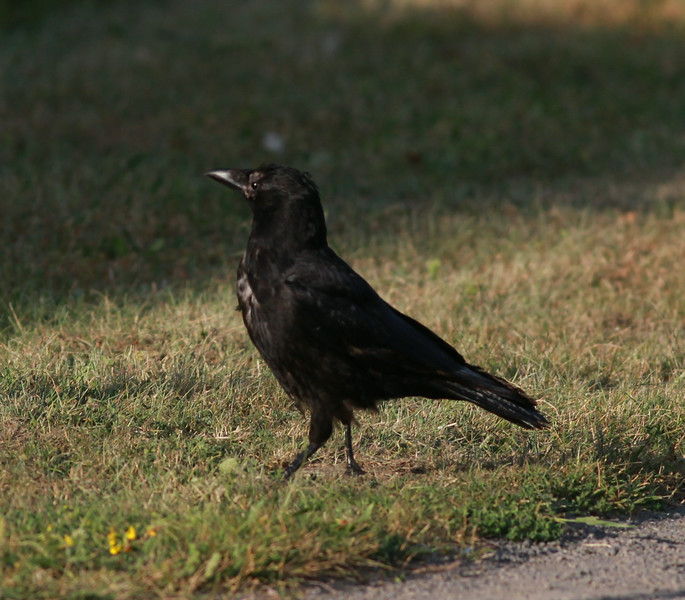 Carrion Crow  Amsterdam 2014 06 25-1.JPG