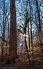 """Sunburst,""  Treasure Tree # 1.  The sun lights up the winter forest and the massive Tulip Poplar."