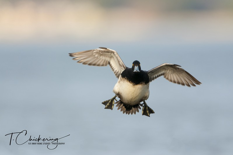 Lesser Scaup Drake in Flight Four-1506030330424.jpg
