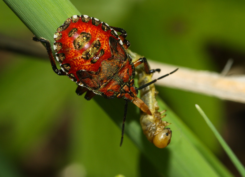 A predatory stink bug nymph (Pentatomidae: Apoecilus sp) preys on a caterpillar in Iowa.