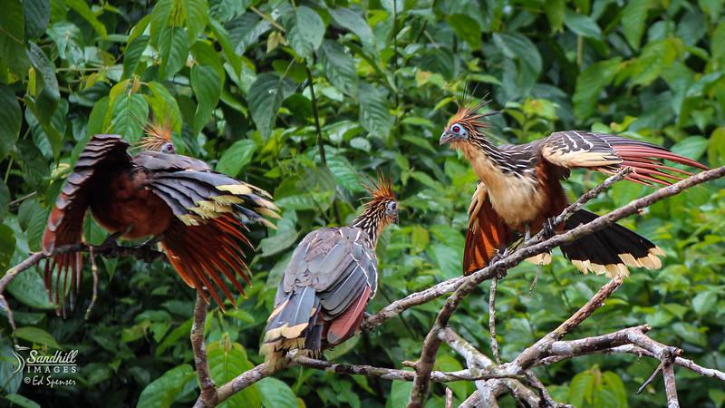 Hoatzins in the Ecuador rainforest