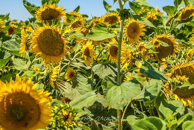 2012 Sunflower in Dixon, California