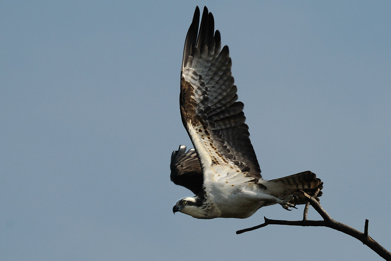 Osprey takeoff Occoquan NWR, Virginia