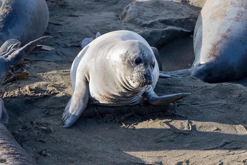 sandy baby elephant seal