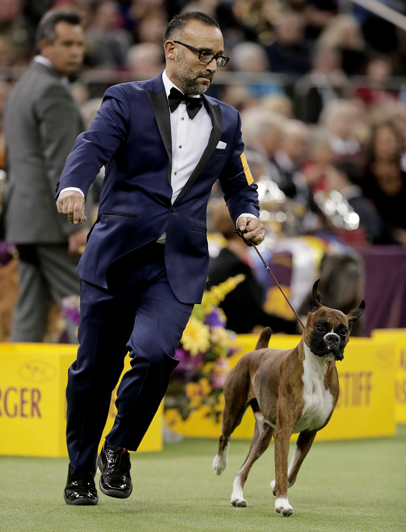 . Handler Diego Garcia guides boxer Devlin around the ring during the working group competition at the 141st Westminster Kennel Club Dog Show, Tuesday, Feb. 14, 2017, in New York. (AP Photo/Julie Jacobson)