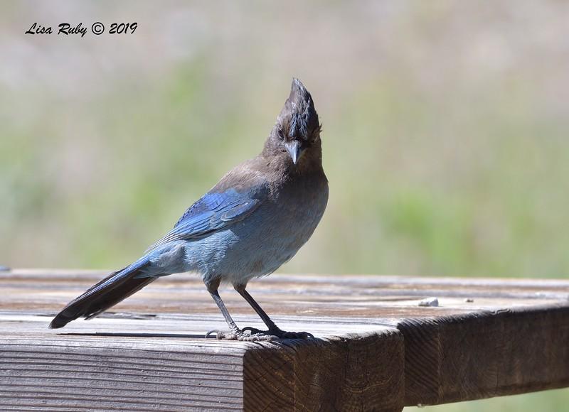 Stellar's Jay  - 6/30/3019 - Paso Picacho Campground
