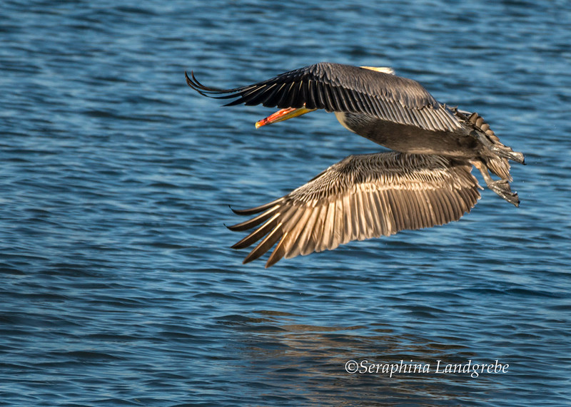 _DSC3412Pelican Wings in flight.jpg