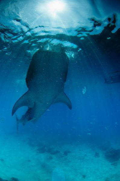 Whaleshark at Oslob Philippines