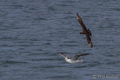 Parasitic Jaeger attacking Black-backed Gull