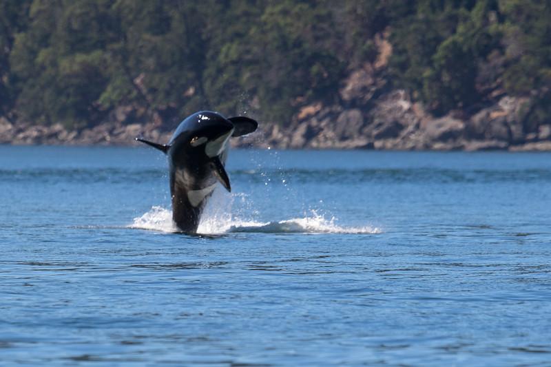 Orcas -  073115-281.jpg
