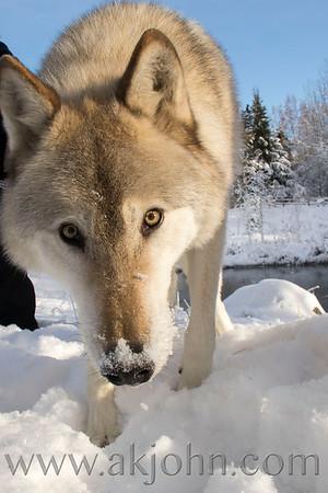 SNOWY DAY WOLF SHOTS