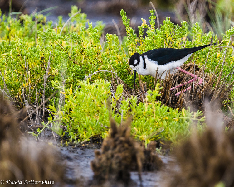Black-necked Stilt Nesting
