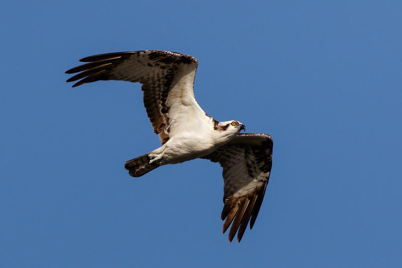 Osprey-7734.jpg