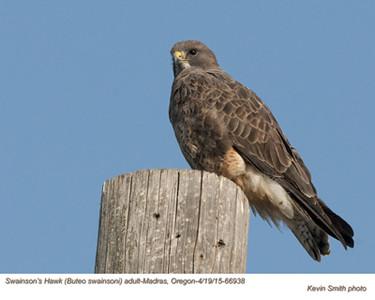 Swainson's Hawk A66938.jpg