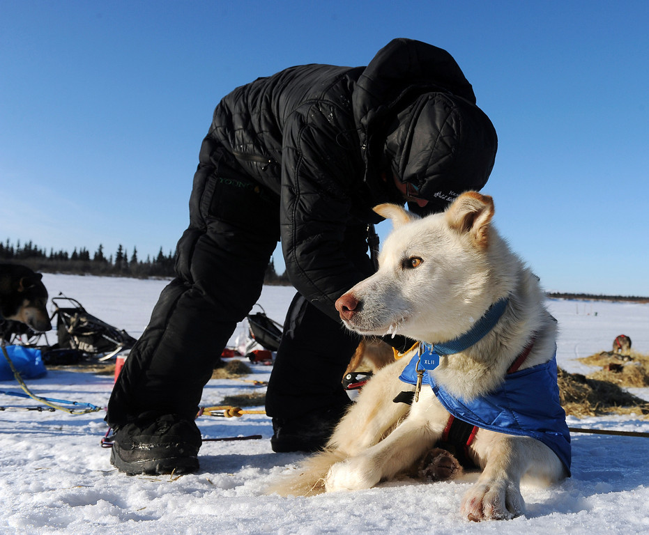 . Mitch Seavey works with his dog team after he arrived at the White Mountain checkpoint during the Iditarod Trail Sled Dog Race on Monday, March 10, 2014, in White Mountain, Alaska. (AP Photo/The Anchorage Daily News, Bob Hallinen)