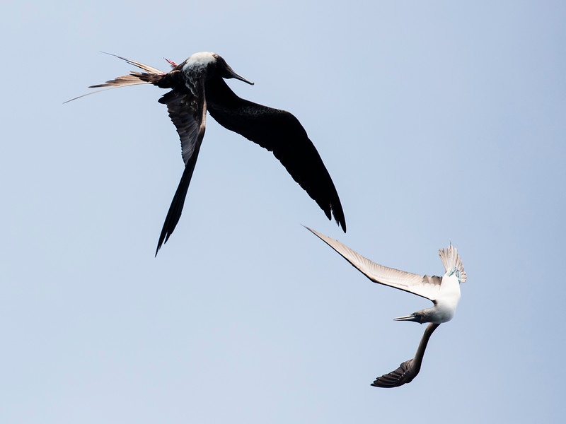 Magnificent Frigatebird & Blue-footed Booby