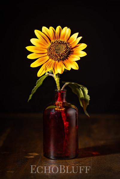 Sunflower, August 2021