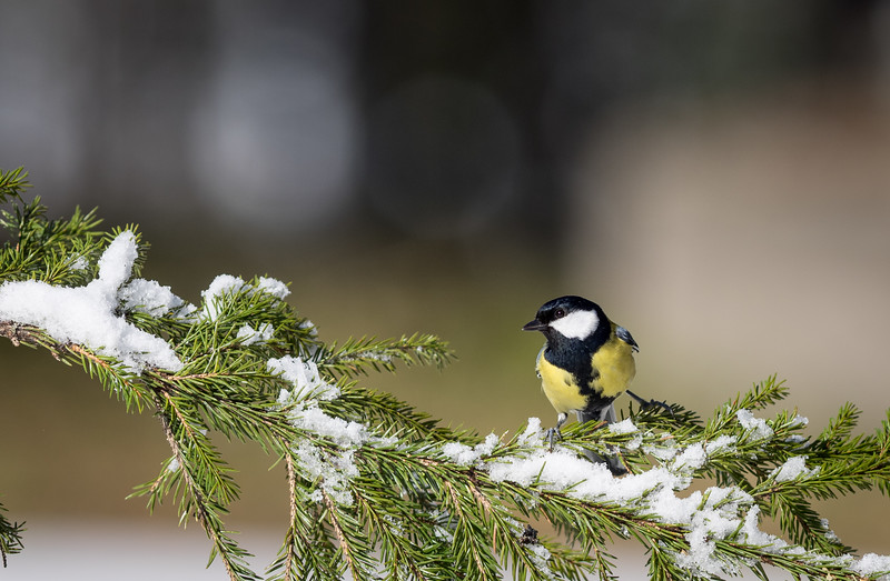 Great Tit out in the snow