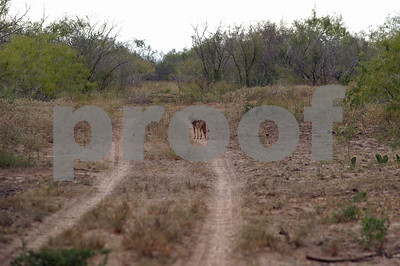 coyotes-can-be-both-good-and-bad-for-texas-wildlife