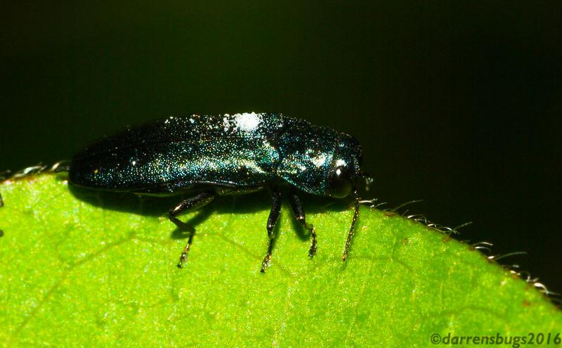 Metallic wood-boring beetle (Buprestidae: Agrilus sp.) from Iowa, USA.