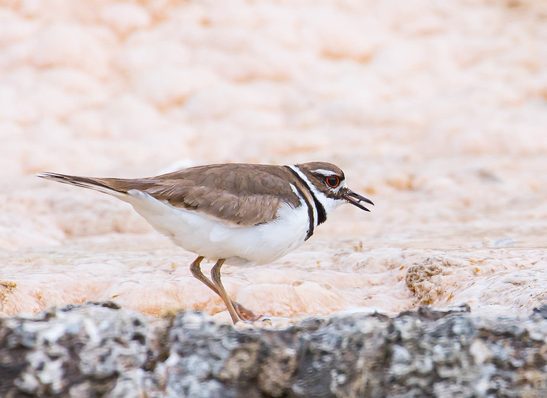 Mammoth Hot Springs Killdeer-7528.jpg