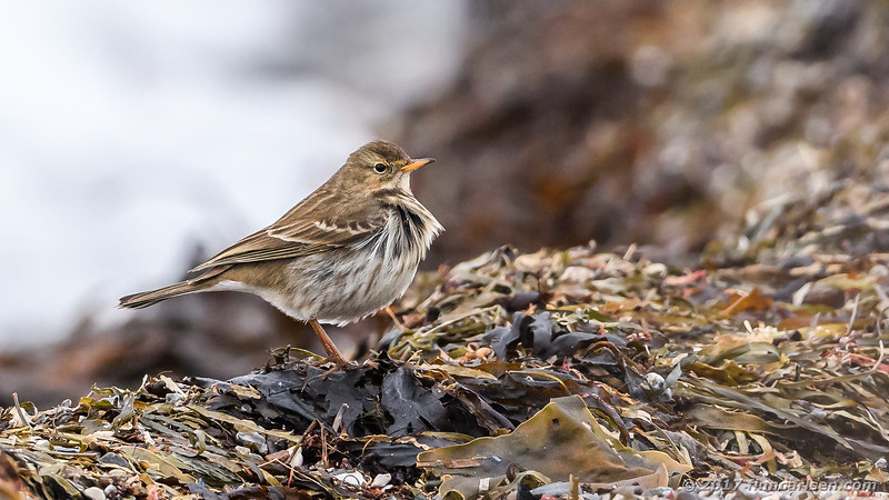 Bjergpiber - Anthus spinoletta - Water pipit